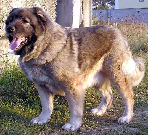 смотреть кавказская овчарка: овчарка 1 месяц, немецкая овчарка черная.